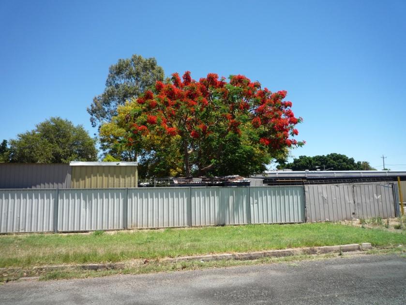 bourke-tree