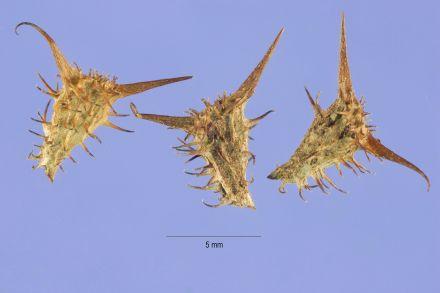 Acanthospermum_hispidum_seeds